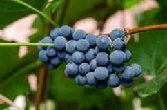 Uvas enredadas en la rama foto de archivo