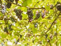 Uvas entre las hojas Foto de archivo