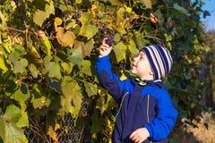 Uvas escolhidas menino Imagens de Stock