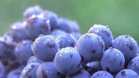 Uvas Uvas escuras para a produção de vinho 120 fps Tiro macro filme