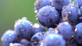 Uvas Uvas escuras para a produção de vinho 120 fps Tiro macro vídeos de arquivo