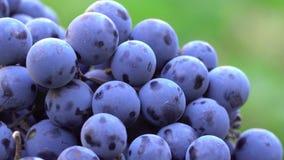 Uvas Uvas escuras para a produção de vinho Tiro macro video estoque