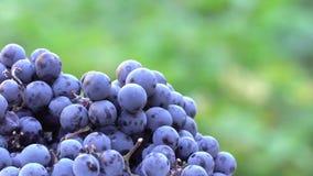 Uvas Uvas escuras para a produção de vinho Tiro macro filme