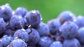 Uvas Uvas escuras para a produção de vinho Tiro macro vídeos de arquivo