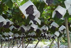 Uvas frescas da exploração agrícola foto de stock royalty free