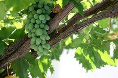 Uvas frescas en una vid Fotos de archivo
