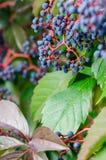 Uvas frescas minúsculas Foto de Stock