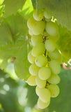 Uvas, grupo de uvas Foto de Stock