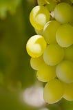 Uvas, grupo de uvas Fotografia de Stock
