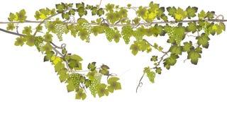 Uvas isoladas no fundo branco ilustração do vetor