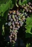 Uvas lindos do napa de Califórnia Fotografia de Stock