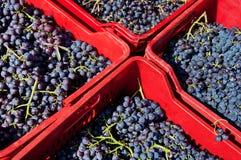 Uvas listas para el vino Imagen de archivo libre de regalías