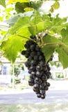 Uvas llenas de la púrpura del remolque Fotografía de archivo