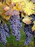 Uvas maduras Imagem de Stock