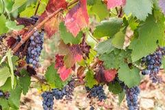 Uvas maduras Foto de Stock