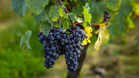 Uvas maduras antes de la cosecha, Burdeos, Francia Foto de archivo libre de regalías