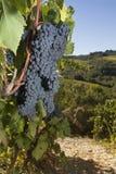 Uvas maduras, Chianti, Toscânia fotografia de stock