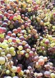 Uvas maduras coloridas Imagen de archivo libre de regalías