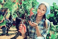 Uvas maduras de la cosecha femenina alegre en viñedo Imagenes de archivo