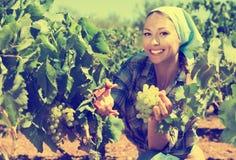 Uvas maduras de la cosecha femenina alegre joven en viñedo Foto de archivo libre de regalías