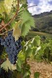 Uvas maduras de Sangiovese, Chianti, Toscana Imagen de archivo libre de regalías