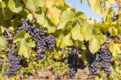 Uvas maduras del merlot en vid en viñedo en el tiempo del otoño imágenes de archivo libres de regalías