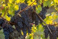 Uvas maduras del Merlot encendidas por la ?ltima sol caliente en el vi?edo cerca de Saint Emilion, Gironda, Aquitania de Montagne imagenes de archivo
