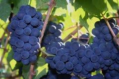 Uvas maduras del pinot negro Imagen de archivo