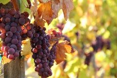 Uvas maduras do vinho tinto Fotografia de Stock Royalty Free