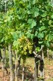 Uvas maduras em Sunny Vine Yard Imagens de Stock