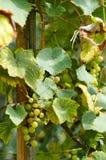 Uvas maduras em Sunny Vine Yard Uvas que crescem na videira Imagens de Stock Royalty Free