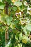 Uvas maduras em Sunny Vine Yard Uvas que crescem na videira Foto de Stock Royalty Free