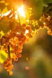 Uvas maduras em uma videira com o sol brilhante que brilha com o verde Imagens de Stock Royalty Free