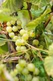 Uvas maduras en Sunny Vine Yard Uvas que crecen en la vid Fotografía de archivo libre de regalías