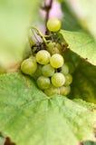Uvas maduras en Sunny Vine Yard Uvas que crecen en la vid Imágenes de archivo libres de regalías