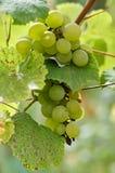 Uvas maduras en Sunny Vine Yard Uvas que crecen en la vid Imagenes de archivo