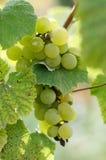 Uvas maduras en Sunny Vine Yard Uvas que crecen en la vid Foto de archivo