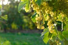 Uvas maduras en un viñedo Imagen de archivo libre de regalías
