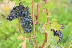 Uvas maduras en un viñedo suizo fotografía de archivo