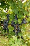 Uvas maduras en una yarda del vino en Canadá Fotografía de archivo