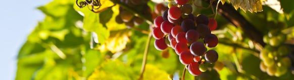 Uvas maduras en vid imagen de archivo libre de regalías