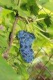 Uvas maduras na folha verde Fotografia de Stock