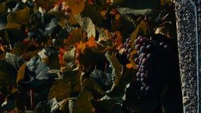 Uvas maduras na jarda da videira, opinião do close-up, efeito do vintage filme