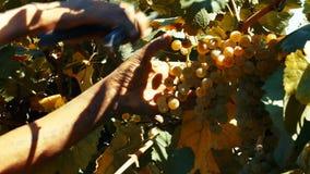 Uvas maduras na jarda da videira, opinião do close-up, efeito do vintage video estoque
