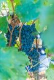 Uvas maduras na videira Fotografia de Stock