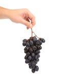 Uvas maduras negras a disposición. imágenes de archivo libres de regalías