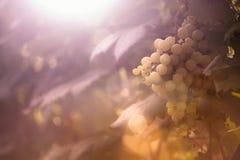 Uvas maduras no por do sol Fotografia de Stock Royalty Free