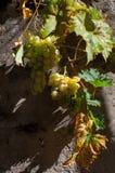 Uvas maduras no sol Fotos de Stock Royalty Free