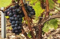 Uvas maduras pretas na videira Fotos de Stock