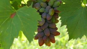 Uvas maduras que se sacuden en el viento almacen de video